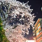 月夜の桜。